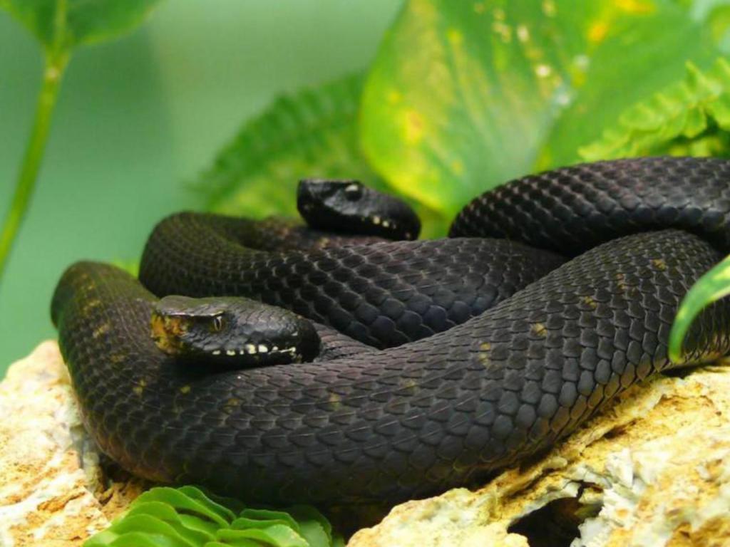 Две черные переплетенные змеи лежат на зеленых листьях